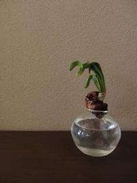 水仙 - 暮らしと植物のブログ