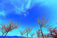 河津桜 - 彩