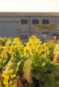 営業妨害も甚だしい工場前のアブラナ科の野菜 - Film&Gasoline