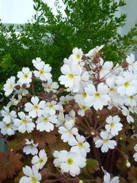 白い桜草 - オリオンの瞳