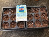 トマトの種蒔き - 「今日の一枚」