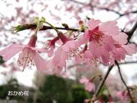 【おかめ桜を見ながら、ヒルトン小田原からの帰り道】 - お散歩アルバム・・春めく日々