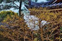 海清寺の山茱萸(サンシュユ) - たんぶーらんの戯言