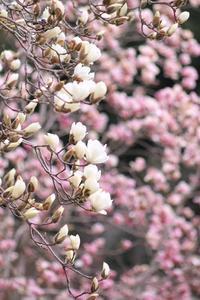 白と紫の木蓮♪ - happy-cafe*vol.2