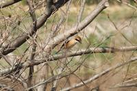 ■ 鳥の春   17.3.16   (モズ、カワセミ、ウグイス) - 舞岡公園の自然2