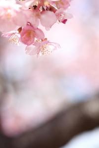 宇都宮の河津桜5  - モノクロポートレート写真館