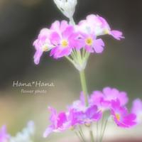 *桜草* - HANA*HANA