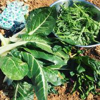 我が家の菜園日記 no.14 2016年冬の記録と春の収穫♩ - La Tavola Siciliana  ~美味しい&幸せなシチリアの食卓~
