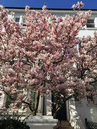 満開のMagnolia - Chakomonkey Everyday in London