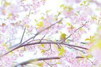 河津桜 - Photographs