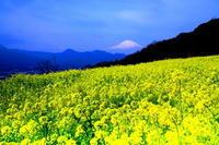 29年3月の富士(16)菜の花と富士 - 富士への散歩道 ~撮影記~