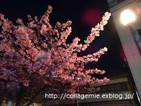 桑名市寺町通り商店街沿いの河津桜が満開です - 自分カルテRで思考の整理を~整理収納レッスン in 三重