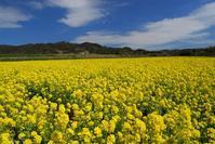 南房総市・菜の花いろいろ - 小さな風景への想い