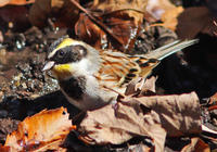 ・ミヤマホオジロ(2) - 鳥見撮り