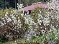 春を告げる花 猫柳  - 白壁荘だより  天城百話