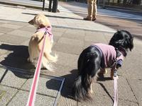 17年3月17日 のんびりひるんぽ♪ - 旅行犬 さくら 桃子 あんず 日記