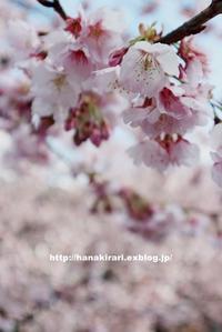 今が見頃の安行桜 - 毎日がばら色