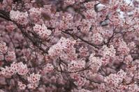 寒桜にメジロ☆新宿御苑 - さんじゃらっと☆blog2