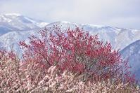 白い山が見える梅園  いなべ梅林公園 - 峰さんの山あるき
