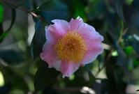 椿の小径にも、やっと花が来た - 彩りの軌跡