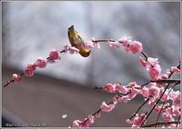 枝垂れ梅メジロ - 野鳥の素顔 <野鳥と・・・他、日々の出来事>