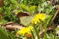 ■ シーズン初見の蝶 3種   17.3.17   (モンシロチョウ、キタキチョウ、ルリシジミ) - 舞岡公園の自然2