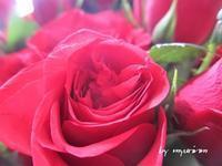 小さな棘ある早春の薔薇 - 今日から明日へ・・・