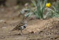 山城址の公園でトラツグミに出会う。 - 私の鳥撮り散歩