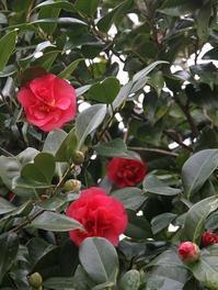 今日の庭 四海波椿 - シェーンの散歩道