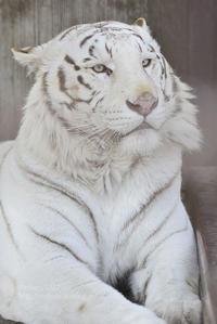 2017.3.12 宇都宮動物園☆ホワイトタイガーのアース王子【White tiger】 - 青空に浮かぶ月を眺めながら