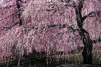 今年の梅 10 - Photo.Color
