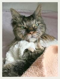 ご長寿猫 はんぞう との暮らし 「3月1日~3月5日の はんぞう」 - たびねこ