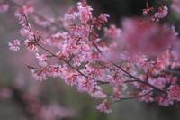 春色のカノン - kzking1963 Digital Photo Diary