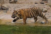 3月16日の子トラ達 - 動物園に嵌り中