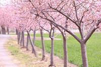 河津桜の小道、寒緋桜、などなど - 八分目とり日記 (Easygoing Photo Diary)