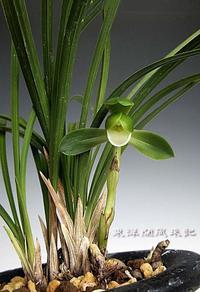 日本春蘭「素宝」                         No.1768 - 東洋蘭風来記奥部屋