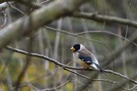 コイカル - ごっちの鳥日記