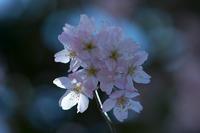 お彼岸に彼岸桜 - 彩りの軌跡