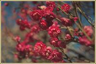 香取神社 香梅園 - Camellia-shige Gallery 2