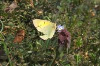 ■ シーズン初見の蝶 3種 (2)   17.3.18   (モンキチョウ、ムラサキシジミ、ベニシジミ) - 舞岡公園の自然2