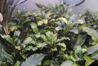 "Bucephalandra sp. ""Sintang"" - PlantsCade -2nd effort"