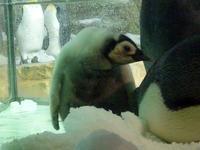 エンペラーペンギンのヒナ - aws0607の写真コーナー