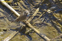 オガワコマドリ - 奥武蔵の自然