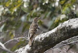 山城址の公園でトラツグミ ②枝停まり - 私の鳥撮り散歩
