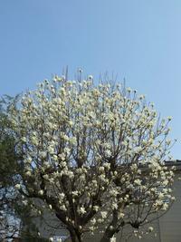 庭の花:コブシ - (鳥撮)ハタ坊:PENTAX k-3、k-5で撮った写真を載せていきますので、ヨロシクですm(_ _)m