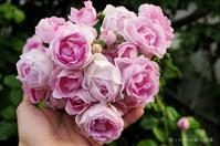 咲きこぼれる林檎の香りの薔薇 - 彼とカヲリの庭の関係