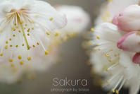 桜を愛でる - for  someone