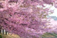 今年の桜 1 - Photo.Color