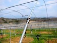 巻きヒゲ取り - 葡萄と田舎時間