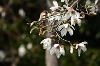 コブシの花 03月19日  - 旧サンヨン(Nikon 300mm f/4D)野鳥撮影放浪記